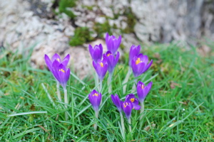 Cluster of Crocuses
