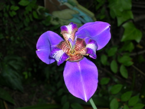 Neomerica Caerulea bloom