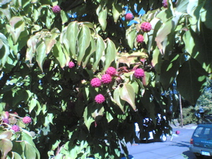 Possibly a lychee tree